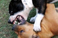 Chiens terriers du Staffordshire de combat images stock