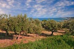 Chieti, Abruzzo, Włochy: drzewo oliwne sad w Adriatyckim morzu c zdjęcie stock