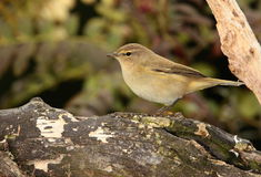 Chiff chaff   bird. Royalty Free Stock Photos