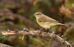 Chiff chaff   bird. View of a chiff chaff bird against a dark green background on a twig Stock Photos