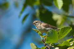 Chiff-chaff on a branch Royalty Free Stock Image