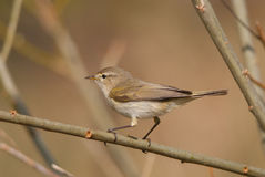 Chiff-chaff. Eurasian chiffchaff on a branch Royalty Free Stock Images