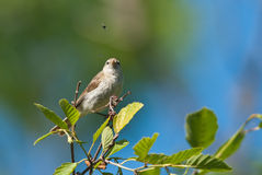 Chiff-chaff and a fly Royalty Free Stock Photos