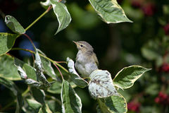Chiff-chaff among the leaves stock photography