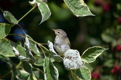 Chiff-Spreu unter den Blättern Stockfotografie