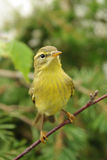 Chiffchaff Royalty Free Stock Photos
