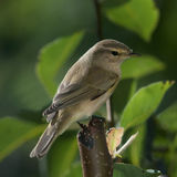 Chiffchaff. A chiffchaff looking for insects in the pear tree royalty free stock images