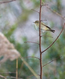 Chiffchaff Royalty Free Stock Photo