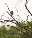 Chiffchaff Stock Photography
