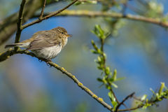Chiffchaff Images stock