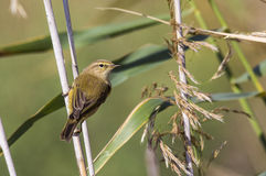 Chiffchaff with Back detail Stock Image