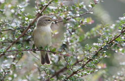 Chiffchaff bird. Royalty Free Stock Images