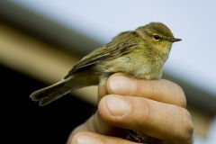 Chiffchaff bird. Standing on a man's hand Royalty Free Stock Image
