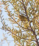 Chiffchaff with blooming tree Stock Photos