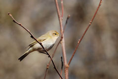 Chiffchaff. Eurasian chiffchaff on a branch, in spring Royalty Free Stock Photography