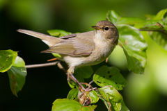 Chiffchaff on a branch Royalty Free Stock Images