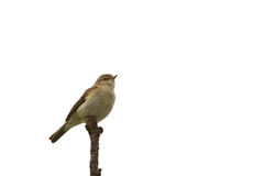 Chiffchaff on a branch Stock Photos
