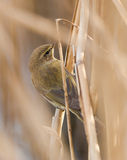 Chiffchaff close-up Royalty Free Stock Images