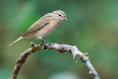 Chiffchaff Stock Images