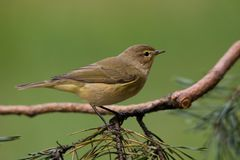 Chiffchaff commun Photographie stock