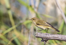 Chiffchaff on Dead Tree Branch Royalty Free Stock Images