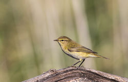 Chiffchaff on Dead Tree Branch Stock Photo