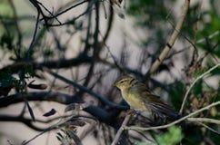Chiffchaff delle isole Canarie che allunga le loro ali Fotografia Stock