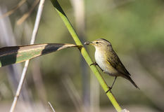 Chiffchaff Eating Spider Stock Image