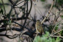 Chiffchaff för kanariefågelöar royaltyfria foton