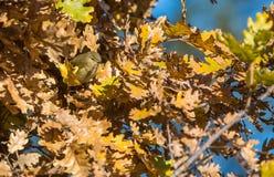 Chiffchaff i höstfärger Royaltyfri Foto