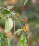 Chiffchaff i zielona owoc Obraz Royalty Free
