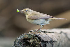 Chiffchaff with insect prey Royalty Free Stock Photos