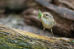 Chiffchaff with insect prey Stock Photos