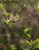 Chiffchaff perched on a green bush Stock Photos