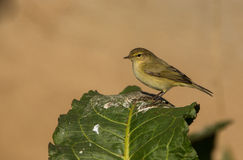 Chiffchaff perched on green leaf Stock Image