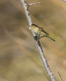 Chiffchaff perched on a vertical branch Stock Photography