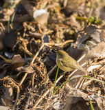Chiffchaff perches on the ground Stock Images