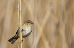 Chiffchaff on a Reed. A chiffchaff is perching on a reed and looking around stock images