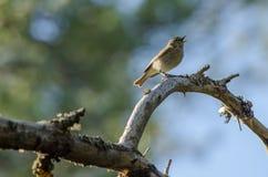 Chiffchaff (Phylloscopus collybita)鸟 免版税库存图片