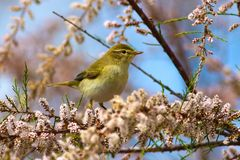 Chiffchaff  Phylloscopus collybita, on blossom branch of  salt. Chiffchaff, Phylloscopus collybita and flower of Tamarix in early spring Stock Photography
