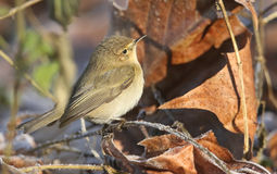 A Chiffchaff Phylloscopus collybita hunting for food in the undergrowth on a frosty winter day. A Chiffchaff Phylloscopus collybita hunting for food in the Royalty Free Stock Photos