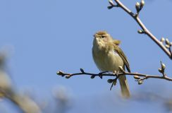 A pretty Chiffchaff Phylloscopus collybita perched on a branch of a tree . A Chiffchaff Phylloscopus collybita perched on a branch of a tree Royalty Free Stock Photos