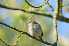 Chiffchaff (Phylloscopus collybita) ·. A chiffchaff perched on a twiggy branch of a tree. He has his front towards the camera, with his head slightly turned so Stock Images