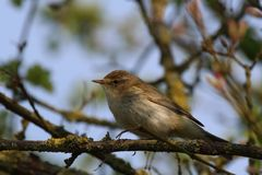 Chiffchaff (Phylloscopus collybita) (side view). The side view of a Chiffchaff bird which is perched on a twiggy, tree branch. This picture was taken in Stock Images