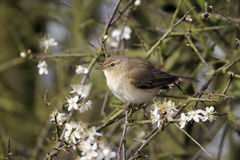 Chiffchaff, Phylloscopus collybita Stock Photo