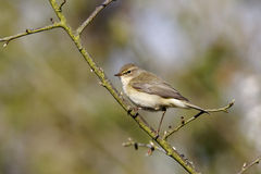 Chiffchaff, Phylloscopus collybita Stock Images