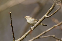 Chiffchaff, Phylloscopus collybita Stock Photography
