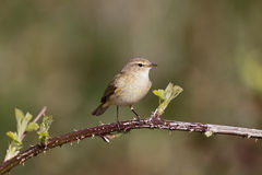 Chiffchaff, Phylloscopus collybita Royalty Free Stock Images