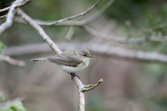 Chiffchaff, Phylloscopus collybita Royalty Free Stock Image