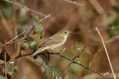 Chiffchaff, Phylloscopus collybita. Single bird on branch, Warwickshire, April 2014 Royalty Free Stock Photography